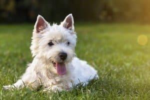 Auch geeignet als Maulwurfschreck: Die Erfahrung zeigt, dass Maulwürfe Haare von Räubern wie Hunden nicht gern riechen.