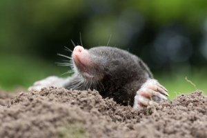 Eigentlich ganz niedlich: Mit einem Maulwurfschreck wollen trotzdem viele dieses kleine Tierchen loswerden.