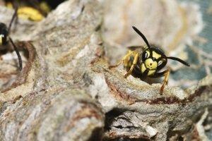 Wo können Sie die beste Wespenfalle kaufen?