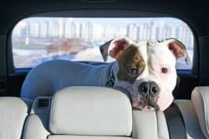 Auch Tiere leiden bei direkter Sonneneinstrahlung unter Umständen: Den Sonnenschutz fürs Auto zu kaufen, kann sich daher auszahlen.