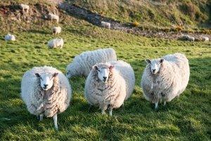 Ein guter Hüttenschlafsack kann bspw. aus der Wolle des Merinoschafs sein.