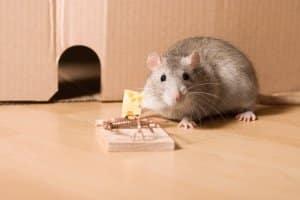 Die beste Mausefalle ist die Katze. Städter müssen meistens auf andere Mausefallen zurückgreifen.