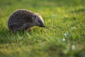 Automatische Rasenmäher sind nicht billig und stellen manchmal eine Gefahr für kleine Tiere dar.