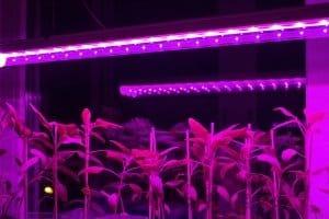 Bei Ihrem Test für Pflanzenlampen sollten Sie auf die Austarierung von rotem und blauem Licht achten.