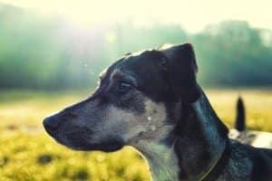 Für jagende Hunde ist die Hundeleine unverzichtbar. Im Vergleich zu abrufbaren Hunden hat die Leine hier eine größere Bedeutung.