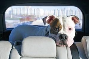 Wenn Sie einen Hunde-Autositz zu kaufen, muss Ihr Vierbeiner nicht im Kofferraum mitfahren.
